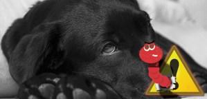 A férgesség tünetei a kutyáknál