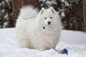 Szamojéd a hóban
