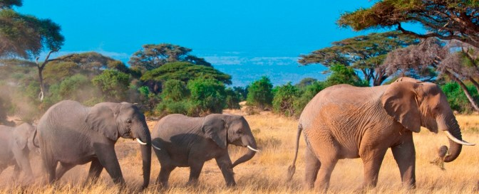 Elephants Family In front of Kilimanjaro, Tanzania