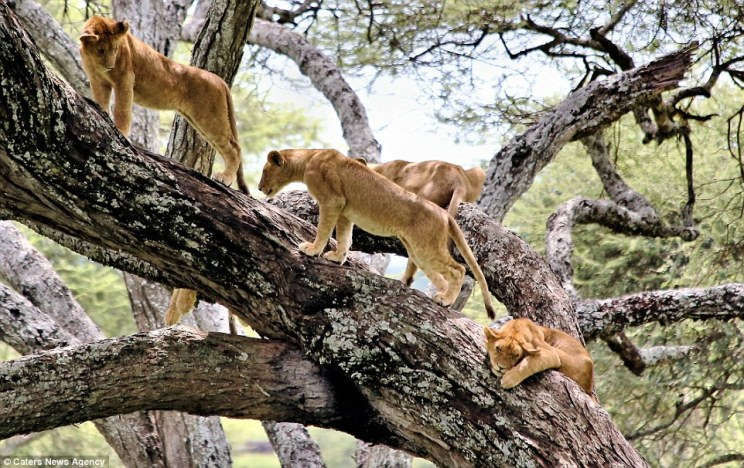 Tree climbing Lion at Manyara Natinal park