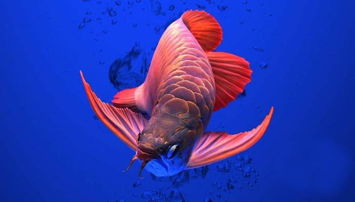 Cantiknya 5 Jenis Ikan Arwana Termahal di Dunia