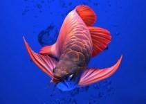jenis ikan arwana termahal