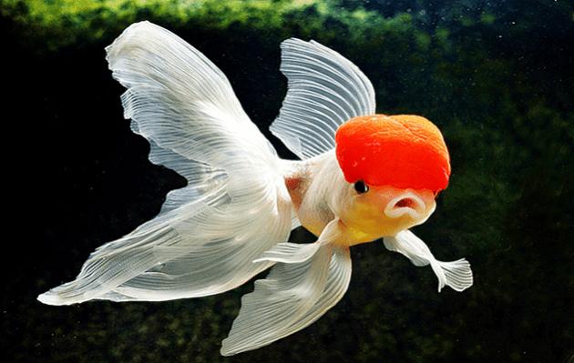Jenis Ikan Hias Koki