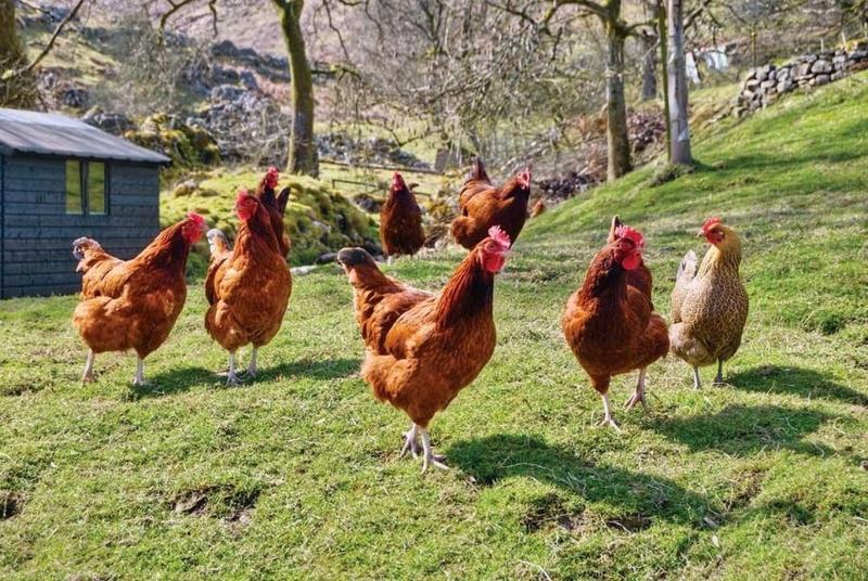Jenis Phobia Ayam