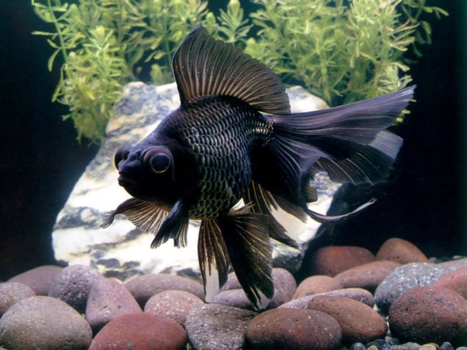 Jenis Ikan Koki Black Moor