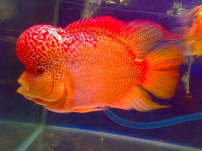 Jenis Ikan Louhan Golden Red