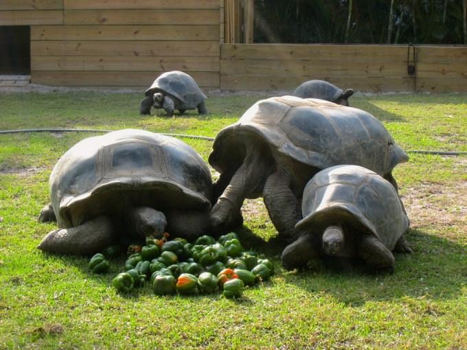 Jenis Kura Kura Aldabra Peliharaan