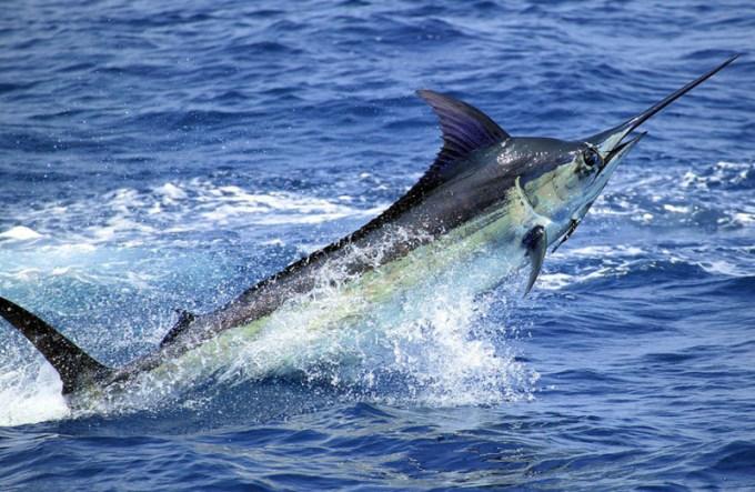 Jenis Ikan Laut - Ikan Blue Marlin