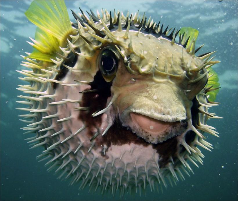 Jenis Ikan Laut - Ikan Buntal