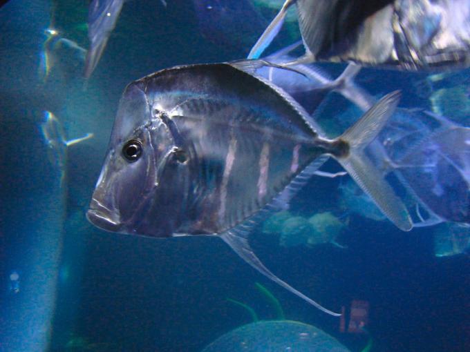 Jenis Ikan Laut - Ikan Look Down