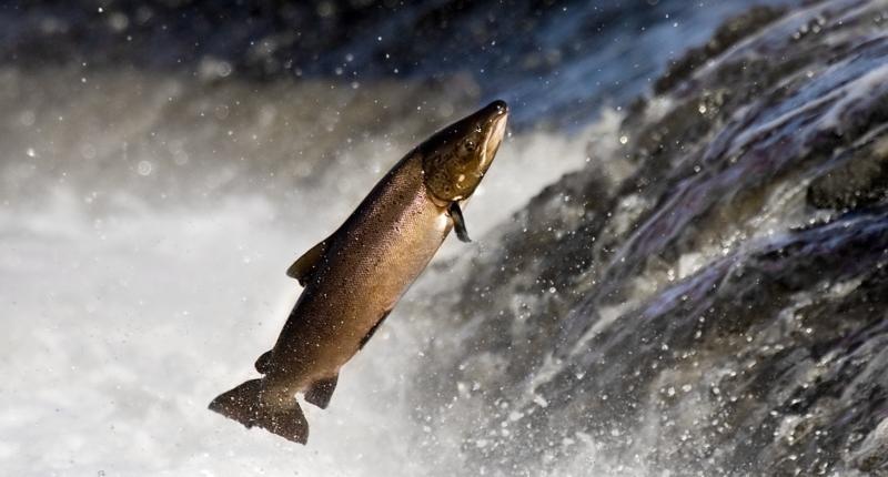 Jenis Ikan Laut - Ikan Salmon