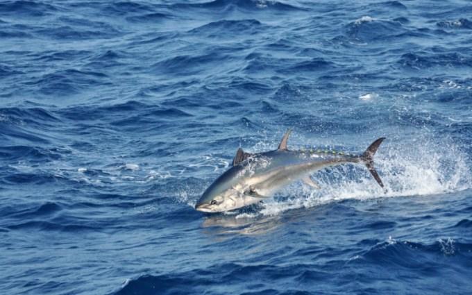 Jenis Ikan Laut - Ikan Tongkol