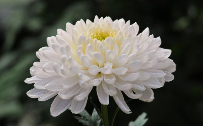 Bunga Seruni (Krisan)