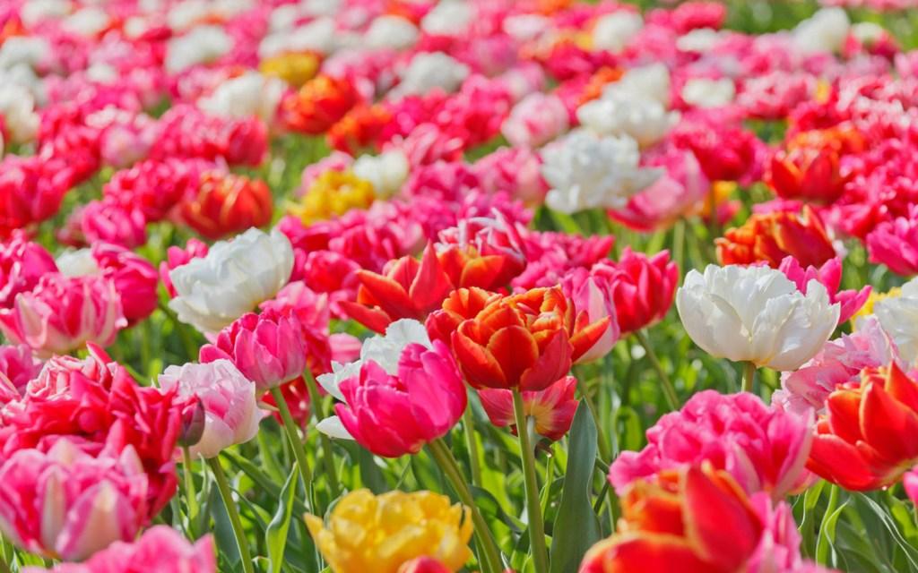 Gambar Jenis-jenis Bunga Terindah Dari Berbagai Penjuru Dunia