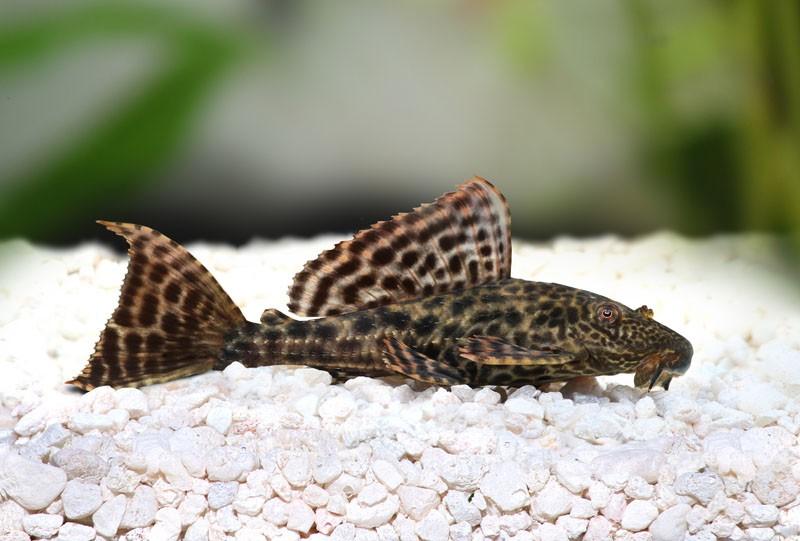Mengenal Lebih Ikan Sapu-Sapu Sang Pembersih Akuarium