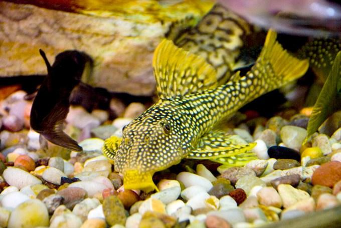 Ikan Sapu-Sapu Sunshine Pleco