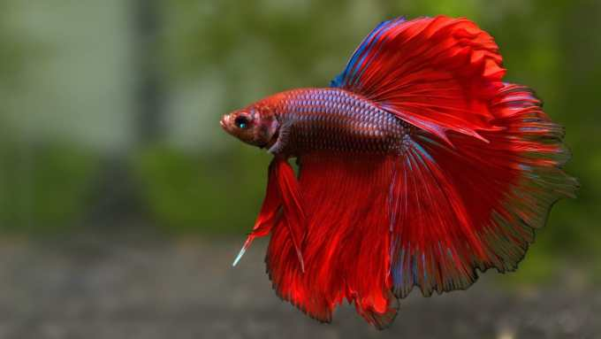 Jenis Ikan Cupang Halfmoon