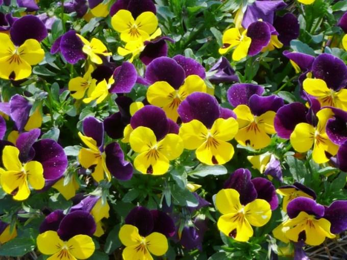 Jenis Bunga Violet Warna Ungu Bercampur Kuning