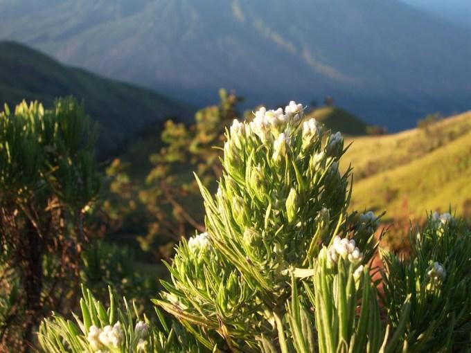 Bunga Edelweis Gunung Merbabu