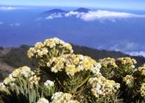 Bunga Edelweis (Senduro)