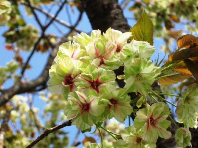 Bunga Sakura Gyoiko