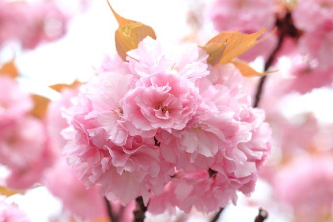 Bunga Sakura Yaezakura