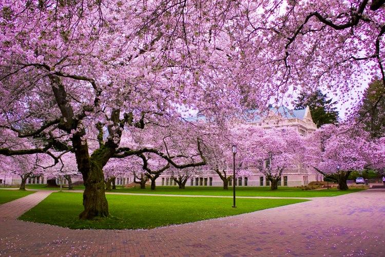 Melihat Kecantikan Bunga Sakura Khas Negeri Jepang