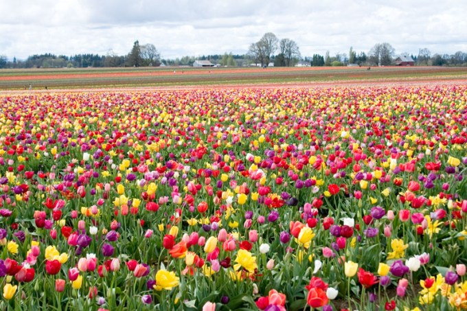 Gambar Bunga Tulip 1