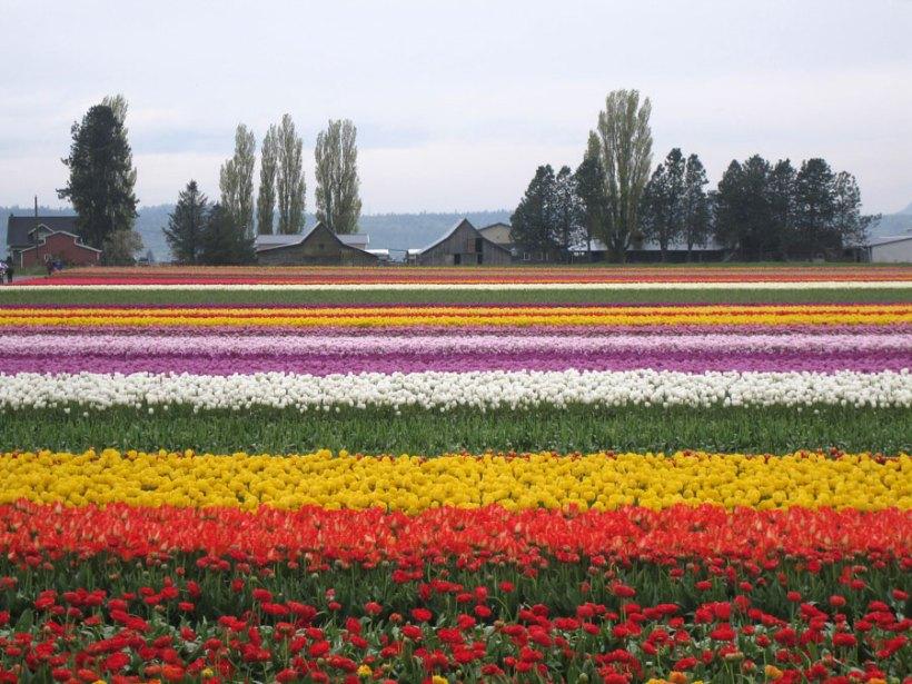 Gambar Bunga Tulip 3