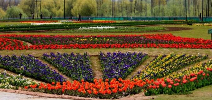 Gambar Bunga Tulip 5