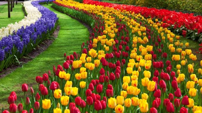 Gambar Bunga Tulip 6