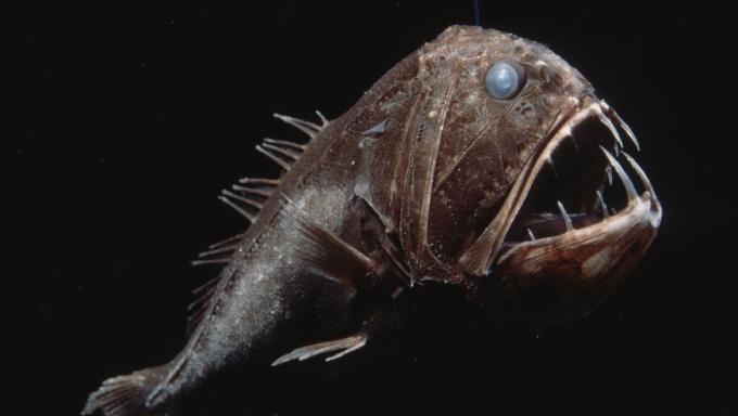 Ikan Monster - Fangtooth Fish
