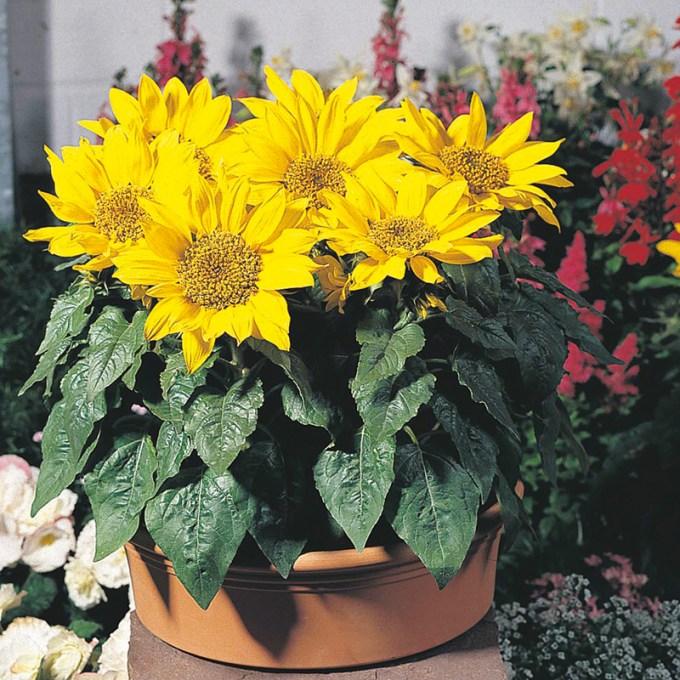 Jenis Bunga Matahari Pacino Cocok Dipelihara Dalam Pot