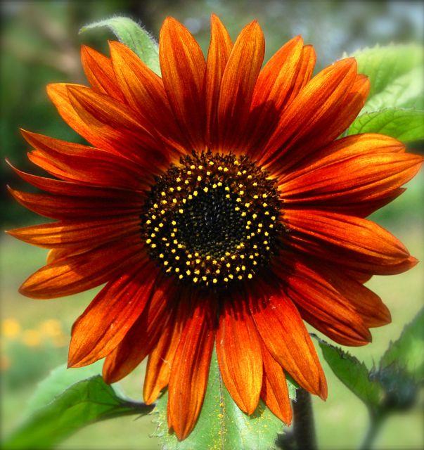 Jenis Bunga Matahari Earth Walker Terdiri dari 3 Warna