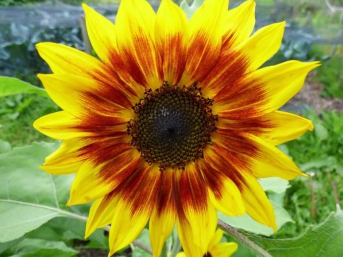Jenis Jenis Bunga Matahari Tercantik Lengkap Dengan Manfaat Dan Fakta Uniknya Kuya Hejo