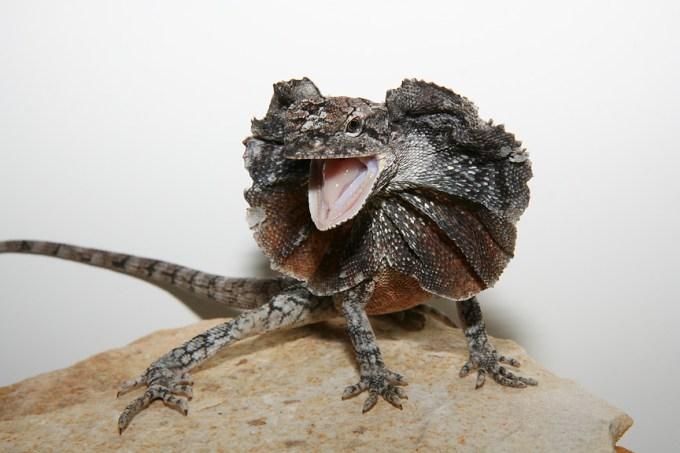 Frilled Dragon yang Mirip Penampakan Naga