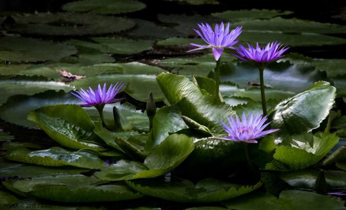 Jenis Bunga Teratai Biru