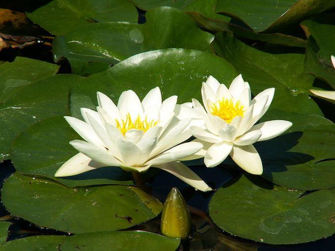 Jenis Bunga Teratai Nymphaea Alba di Habitatnya