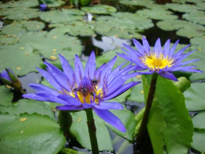 Jenis Bunga Teratai Nymphaea Capensis Juga Berwarna Biru Keunguan
