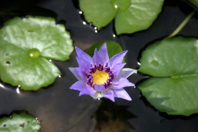 Bentuk Jenis Bunga Teratai yang Satu Ini Masih Seperti Bentuk Umum Bunga Teratai Lainnya
