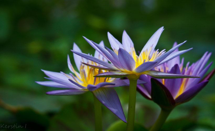 Jenis Bunga Teratai Nymphaea Heudelotii Memiliki Bentuk yang Khas