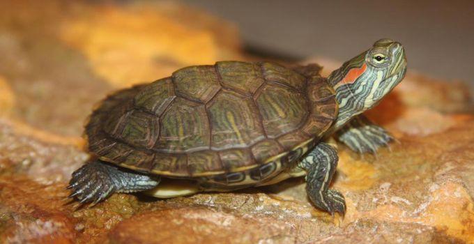 Kura-kura Brazil Merupakan Salah Satu Jenis Kura-kura Peliharaan yang Sangat Digemari