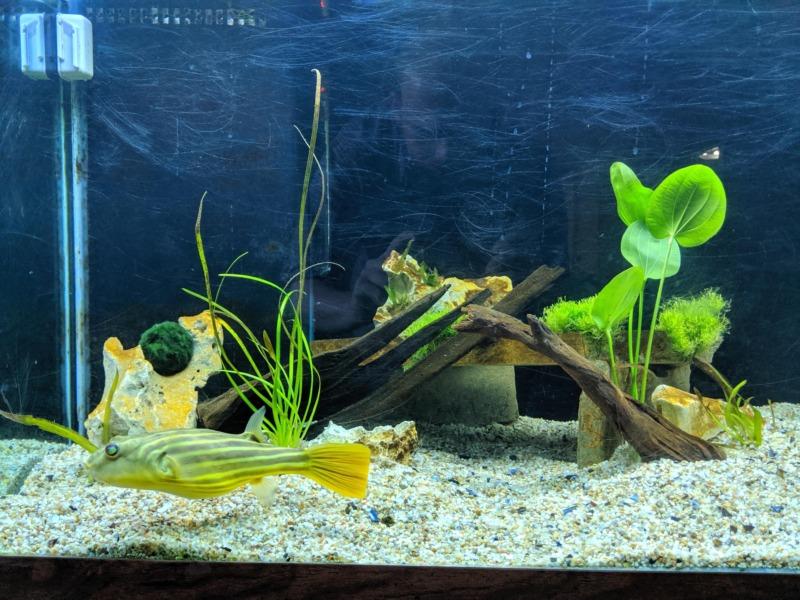 Mempersiapkan Akuarium Bagi Ikan Buntal Fahaka
