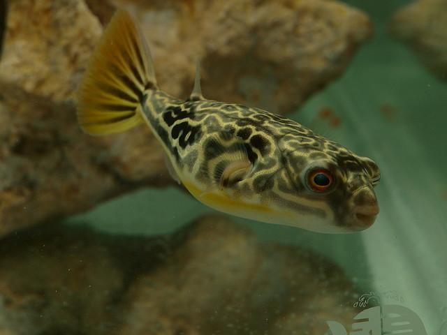 Cara Memelihara Ikan Buntal Air Tawar