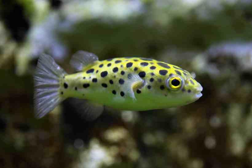 Tanya Jawab Tentang Ikan Buntal Bintik Hijau