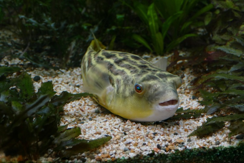 Ikan Buntal Fahaka