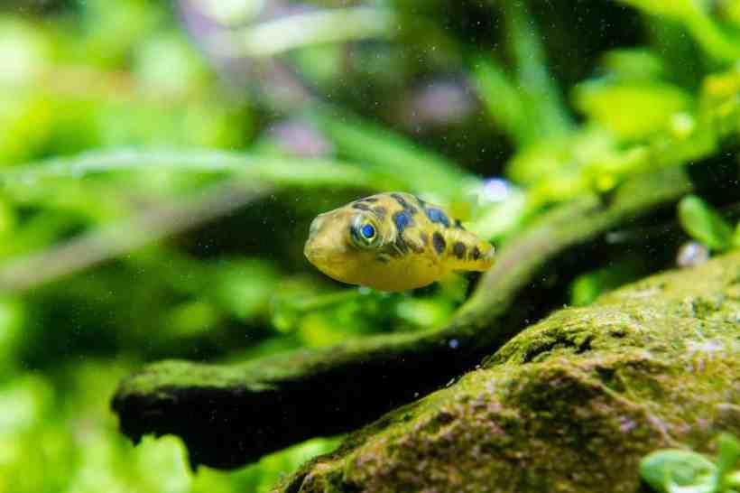 Jadi, Tertarikkah Kamu Memelihara Ikan Buntal Kerdil?