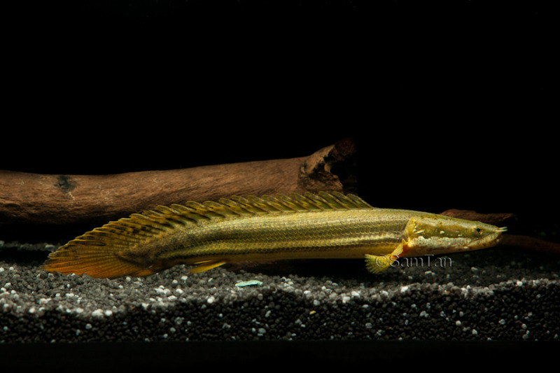 Polypterus Bichir dan 2 Sub Spesiesnya