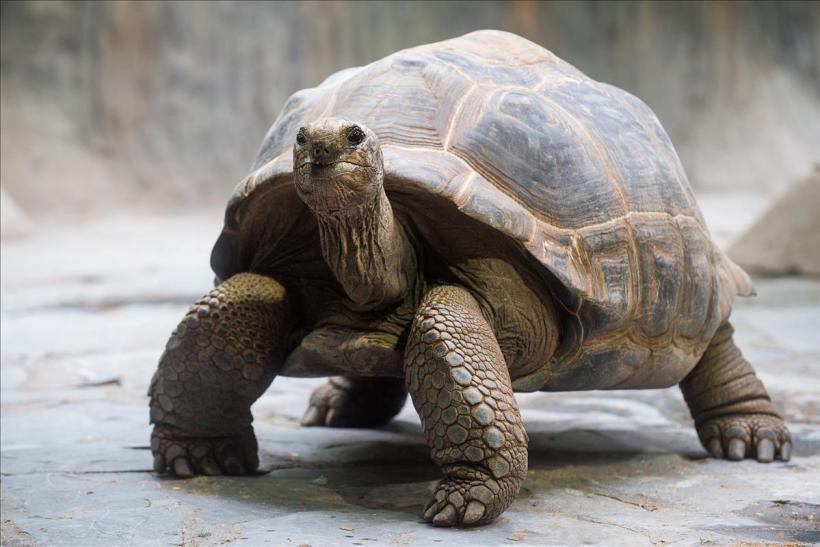 Berapa Harga Kura-Kura Aldabra?