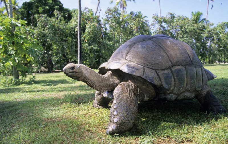 Mengenal Kura-Kura Aldabra, Si Hitam Eksotis yang Harganya Fantastis